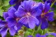Fioletowe kwiaty 2/Purple Flowers2
