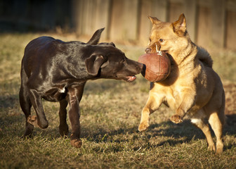 dogs playing with football