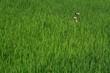 Rice Paddy Duck
