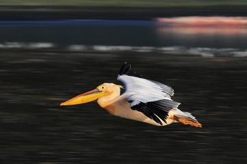Great White Pelican in flight at lake Nakuru, Kenya
