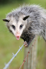 Young Opossum(Didelphis virginiana)on a fence