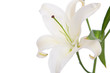 White lily flower on white background
