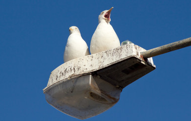 Two seagulls perched on a street lamp.