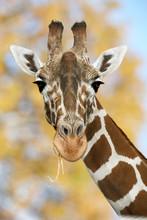 Giraffe in Natur