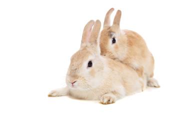 Sich paarende Kaninchen