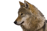 Portrait of an European grey wolf (Canis lupus lupus) isolated poster