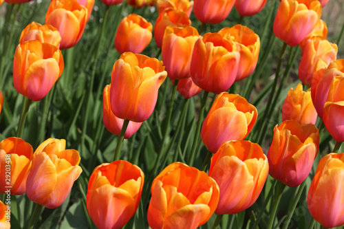 closeup of flowerbed with bright beautiful orange tulips