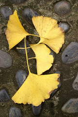 Yellow ginkgo tree leaves on the ground
