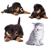 Purebred Rottweiler puppy and kitten poster