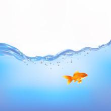 Guldfisk i vatten