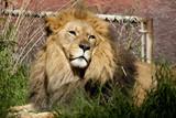Captive Lion poster