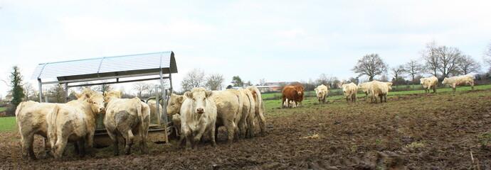 troupeau de vaches mangeant