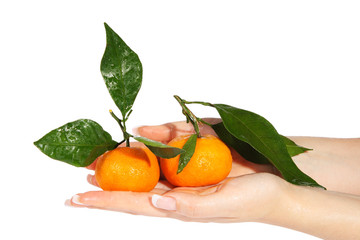 Mandarins with green leaves in the hands on the white background