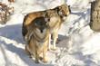Fototapeta śnieg - Uprzejmy - Dziki Ssak