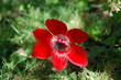 Single red anemone flower.