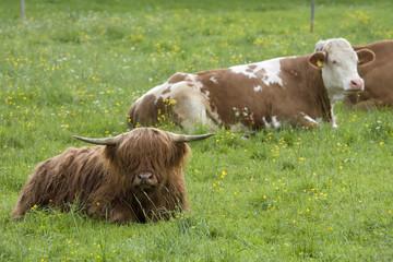 gemischte kühe