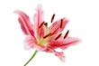 pink lily with brown pollen