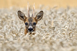 Fototapete Ruminant - Hirsch - Säugetiere