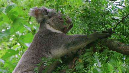 Koala Bear Climbing