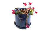 flowerpot of wilted flowers poster