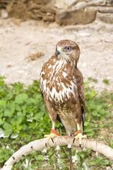 Hunting birds - eagle.