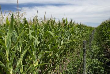 Sweet corn plantations