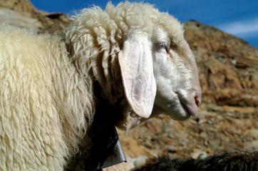 sheep on a mountain