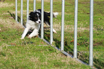 agility dog slalom border collie