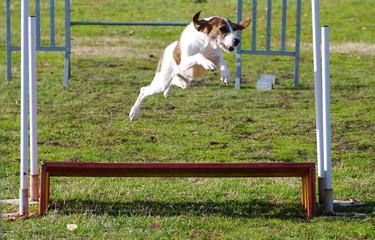 agility dog ajack russell