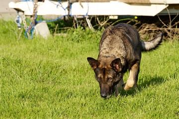 German Shepherd alerting