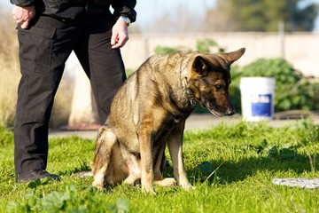 German Shepherd alerting