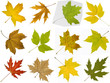 Collection of autumn leaves of maple tree
