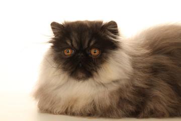 pose noble et fière du chat persan