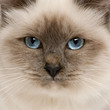 Close-up of Birman cat's face, 5 months old