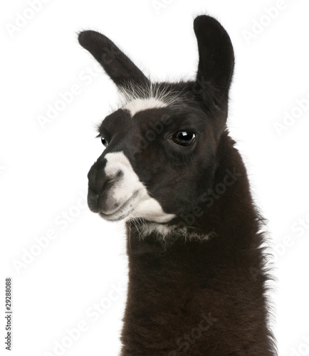 Foto op Aluminium Lama Llama, Lama glama, in front of white background