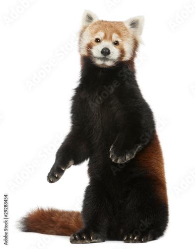 Old Red panda or Shining cat, Ailurus fulgens, 10 years old