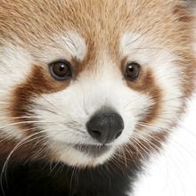 Close-up of Young Red panda or Shining cat, Ailurus fulgens