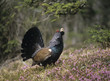 Male capercaillie standing on heather, side view