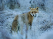 Fox in frozen grass