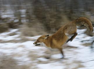 Fox running in woods, motion blur