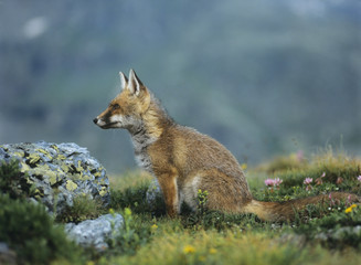 Fox on mountain pass