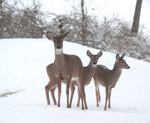 Whitetail deer does in snow