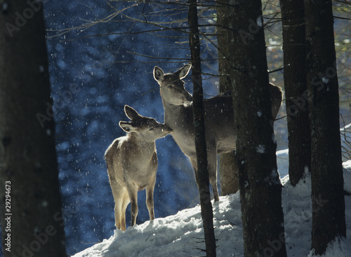 Red deer doe with cub