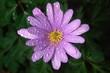 Sea aster flower