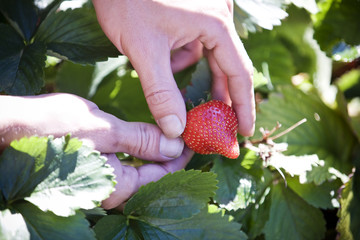 A man picking a strawberry, close-up