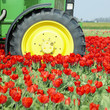 tractor on the tulip field, Netherlands