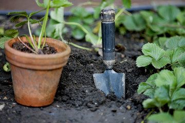 Close-up of strawberry plants and a trowel