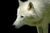Polar wolf (Canis lupus arctos) poster