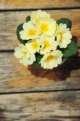 Primel - Heilpflanze des Frühlings