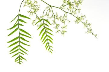 Blätter und Früchte einer Mimose